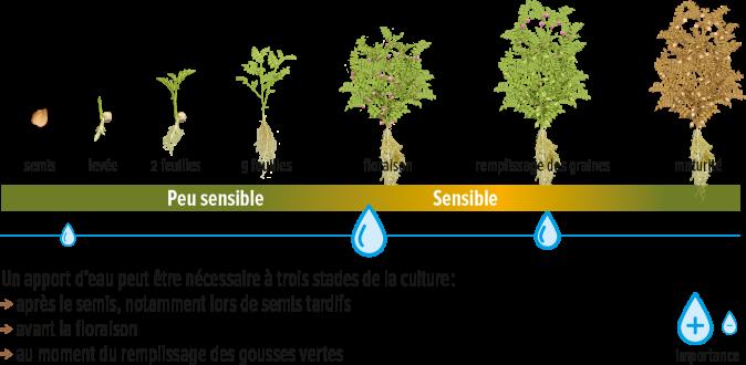 PoisChiche-Irrigation
