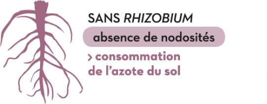 Sans Rhizobium